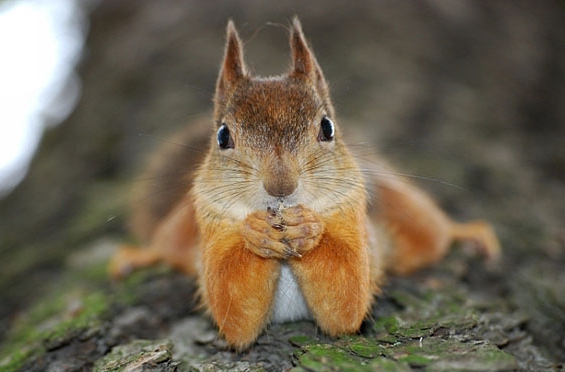 cute-animals-squirrel-lying-down-looking-camera-pics
