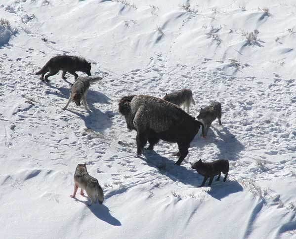 Canis_lupus_pack_surrounding_Bison