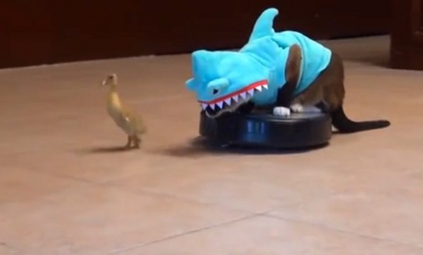 this-is-a-cat-in-a-shark-costume-sitting-on-a-rumba-and-chasing-a-duckling-youre-welcome